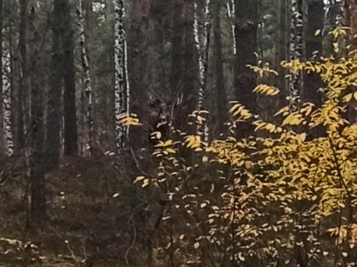 Łoś w lesie