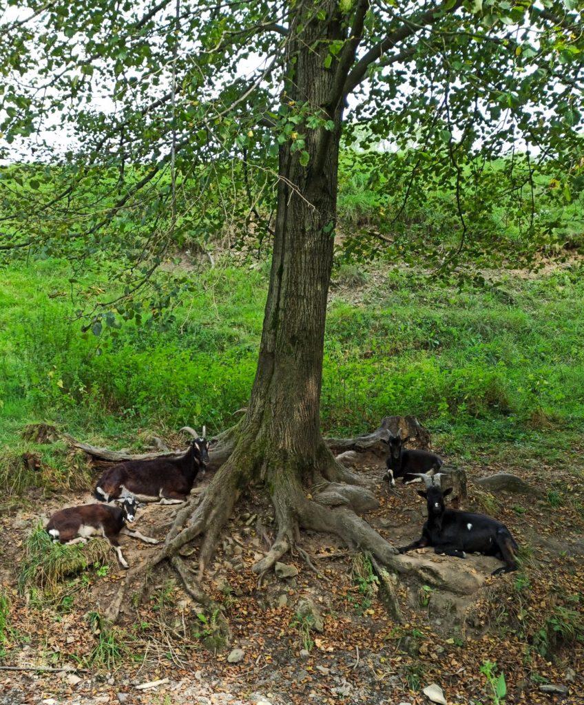 Kozy na szlaku w Chyrowej